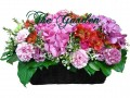 Pink Lady - 3 Hydrangea